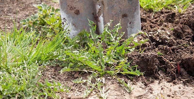 Убираем сорняки и перекапываем поле