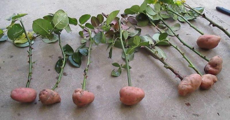 Укоренение черенков в картошке