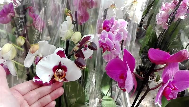 Выбор орхидеи в магазине