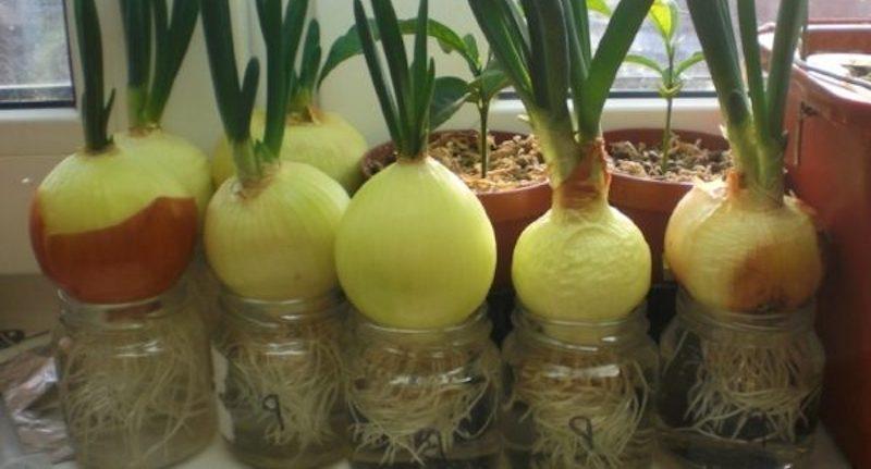 Выращивание лука на перья дома на подоконнике