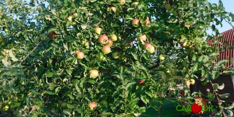 Ветки яблони перемахнули на соседний участок: чей урожай?