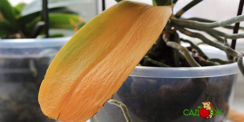 Почему у орхидеи желтеют и опадают листья?
