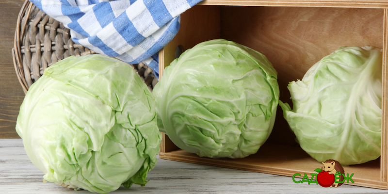 Как подготовить капусту к хранению и как ее хранить?