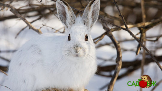 Как защитить деревья от грызунов зимой
