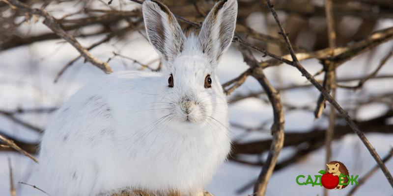 Как защитить деревья и кустарники от грызунов зимой?