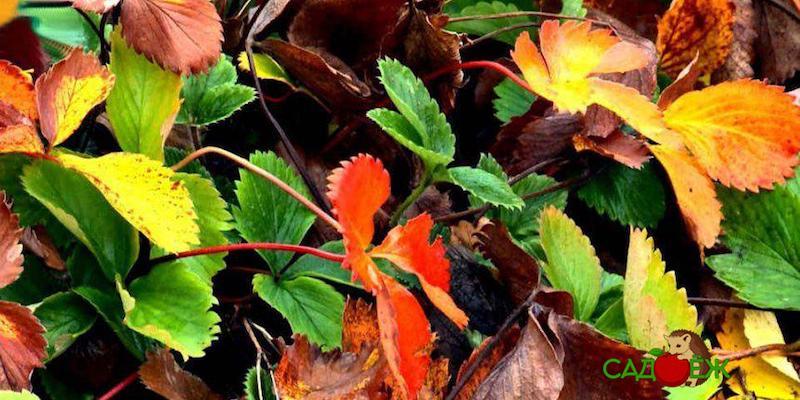 Подкормка клубники золой осенью для большого урожая