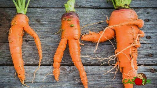 Почему морковь вырастает кривая