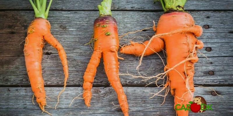 Почему морковь вырастает кривая?
