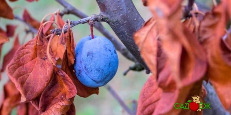 Обработка сливы от болезней осенью