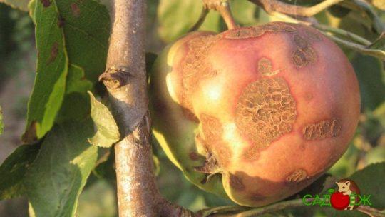 Как избавиться от парши на яблоне и груше