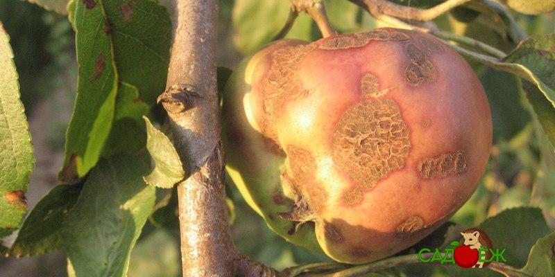 Лечение парши на яблоне и груше осенью