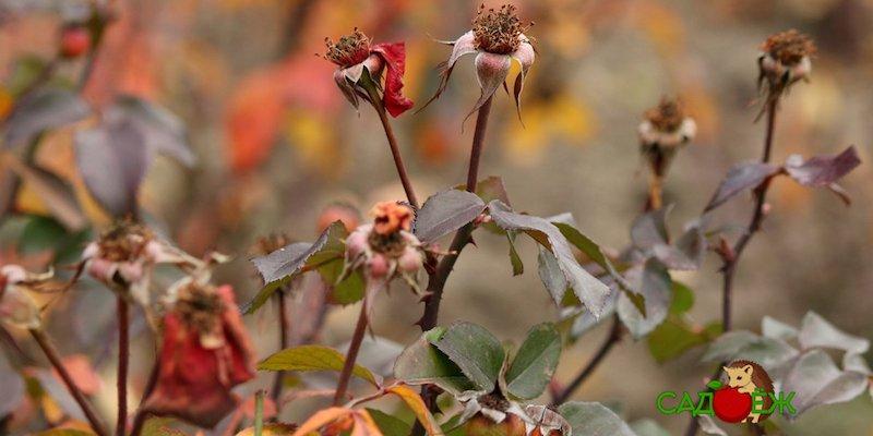 Подкормка роз осенью: как правильно ее делать?