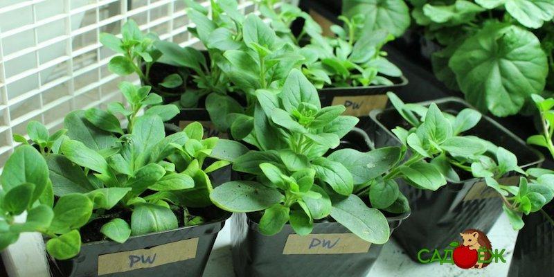 3 способа посева петунии на рассаду