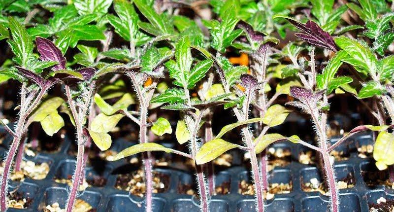 Нехватка фосфора рассада помидоров