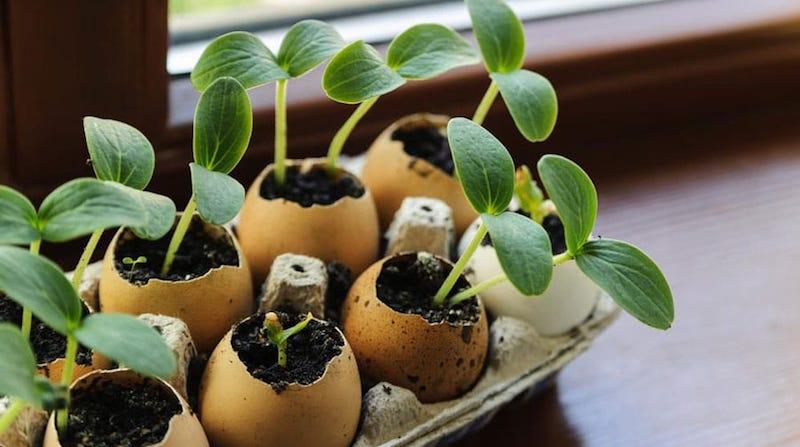 Выращивание рассады в яичной скорлупе