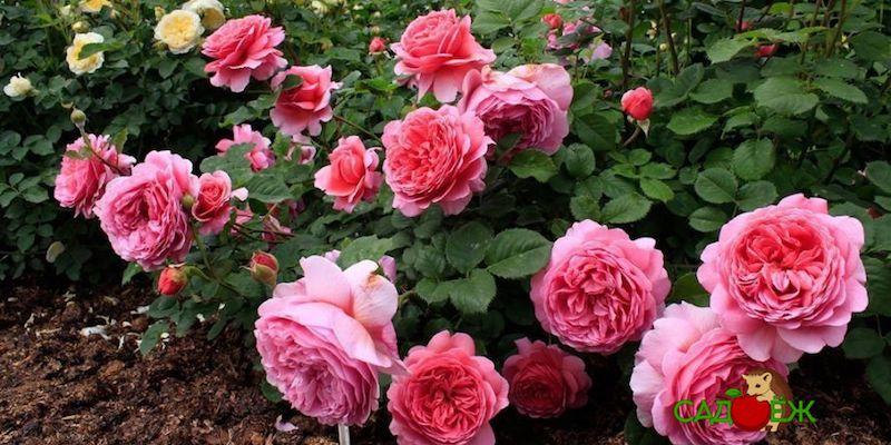Подготовка роз к зиме: что делать нельзя?
