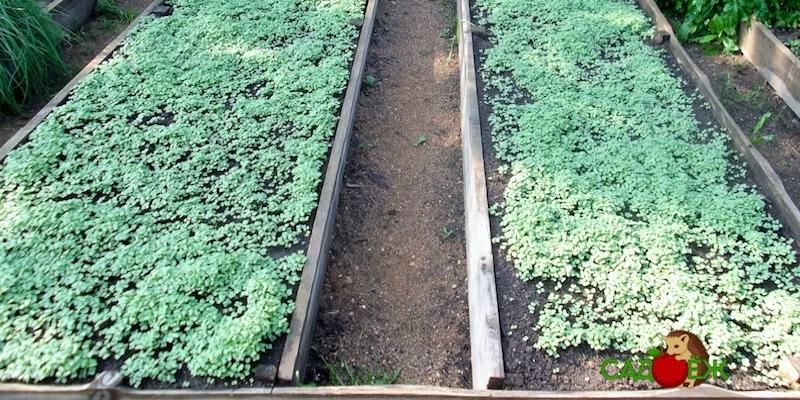 Какие сидераты посеять под огурцы весной?