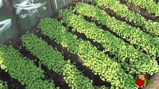 Сидераты под помидоры весной