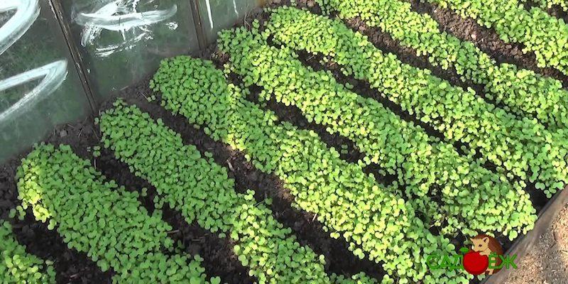 Какие сидераты посеять под помидоры весной?
