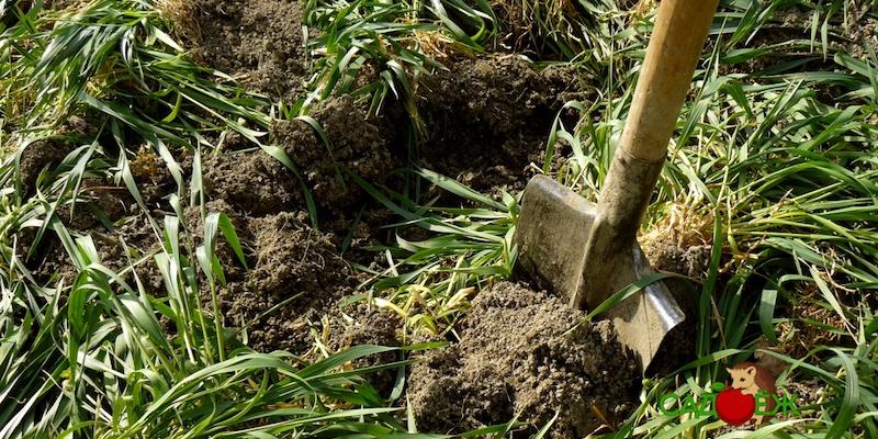 Какие сидераты лучше посеять под картофель весной?