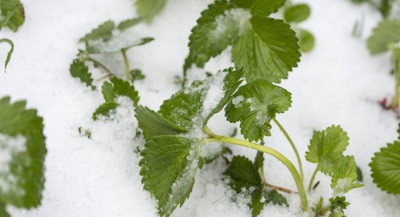 Когда укрывать клубнику на зиму?