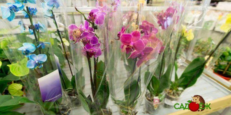 Как правильно выбрать орхидею при покупке в магазине?