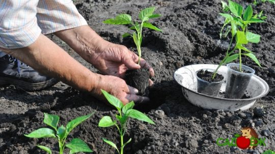 Как подготовить рассаду к высадке в теплицу или открытый грунт