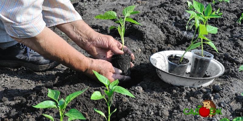 Как подготовить рассаду к высадке в теплицу и открытый грунт?