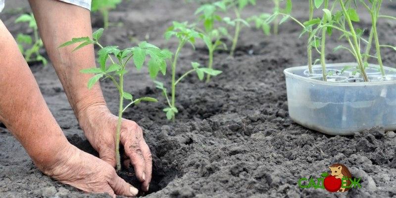 Что класть в лунку при посадке помидоров?