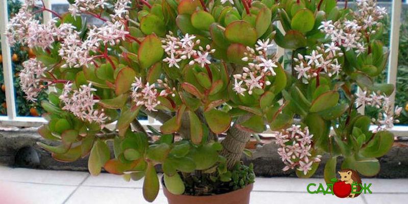 Как стимулировать цветение денежного дерева в домашних условиях?