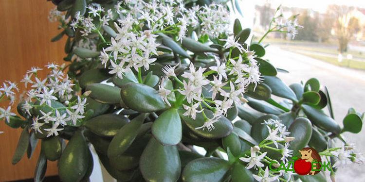 Как цветет денежное дерево и как добиться цветущего денежного дерева в домашних условиях?