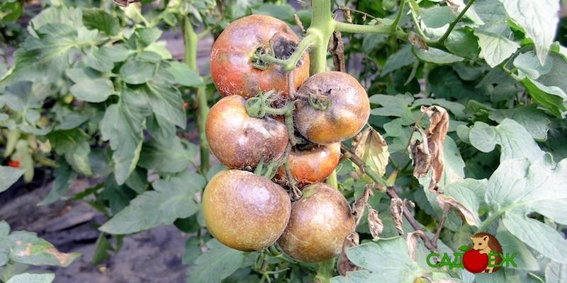 Обработка помидоров Трихополом против фитофторы