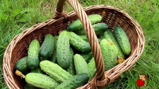 Как продлить время плодоношения огурцов