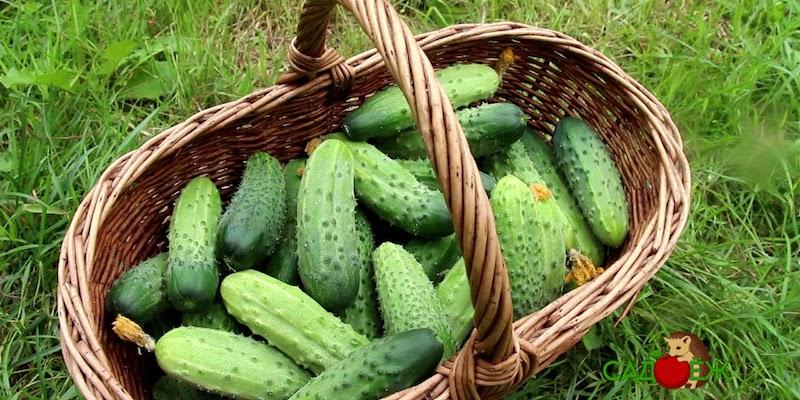 Как продлить плодоношение огурцов в теплице и в открытом грунте?