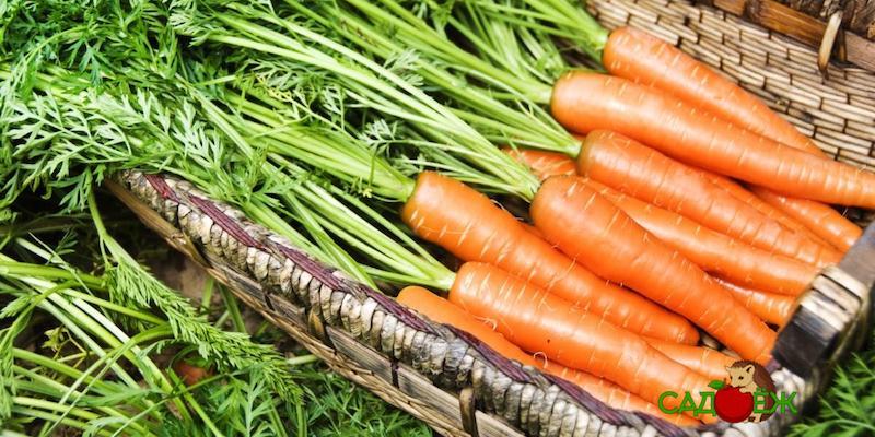 Как сохранить свежую морковь на зиму?
