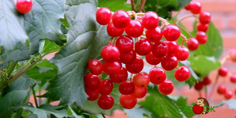 Полезные свойства ягод калины красной для здоровья