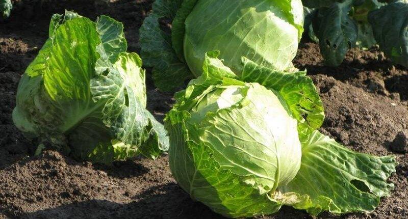 Урожай капусты