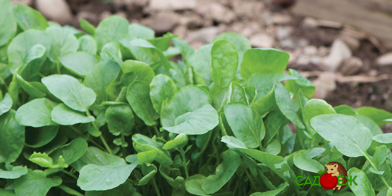 Выращивание кресс-салата в открытом грунте