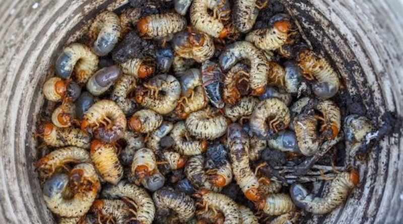 Личинки майских жуков