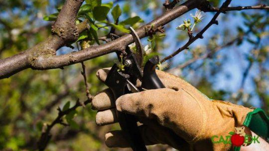 Обрезка вишни осенью