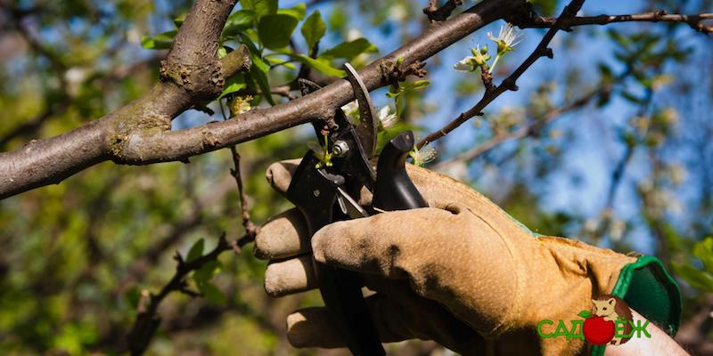 Обязательная обрезка вишни осенью