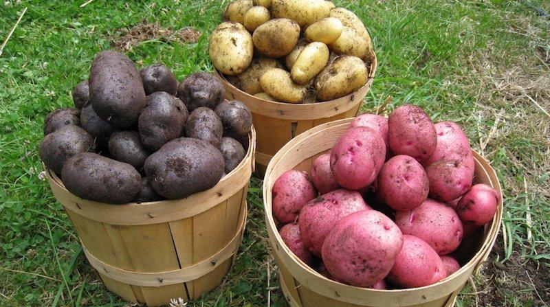 Отбор картофеля на хранение
