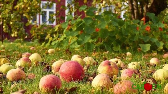 Использование падалицы яблок