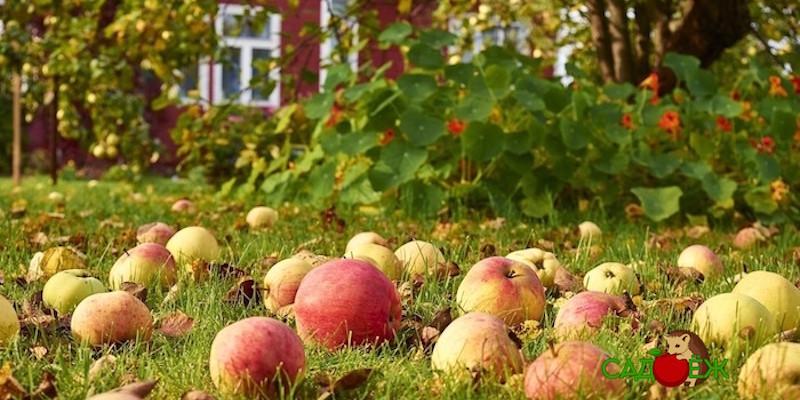 Что делать с падалицей яблок?