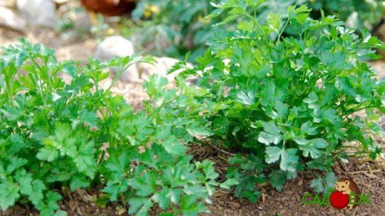 Как вырастить густую и ароматную петрушку?