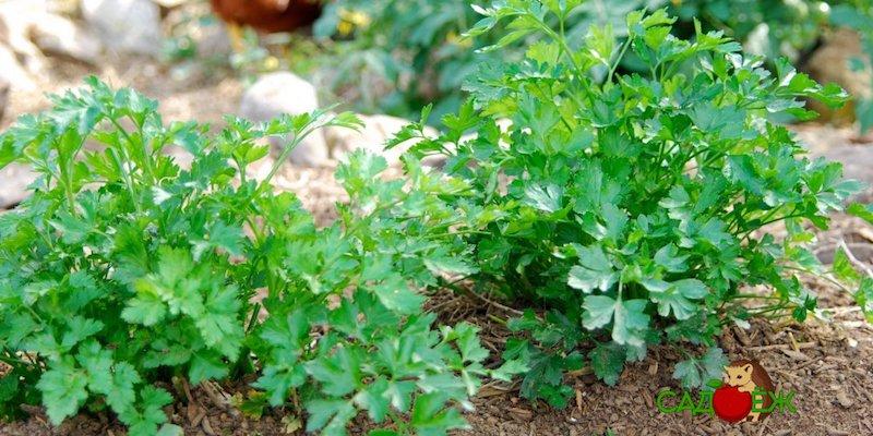 Как вырастить ароматную и густую зелень петрушки?