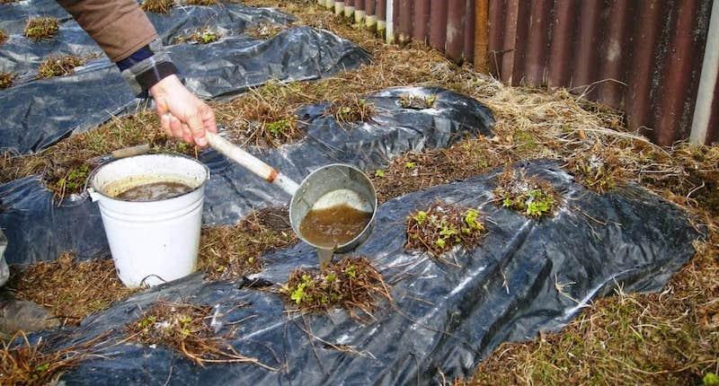 Подкормка клубники органикой