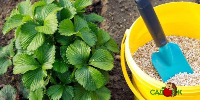 Подкормка клубники органикой и минеральными удобрениями осенью