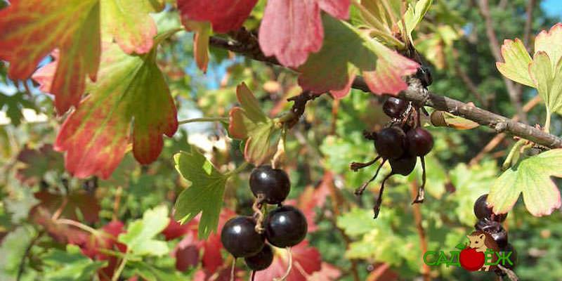 Подкормка смородины осенью для большого урожая