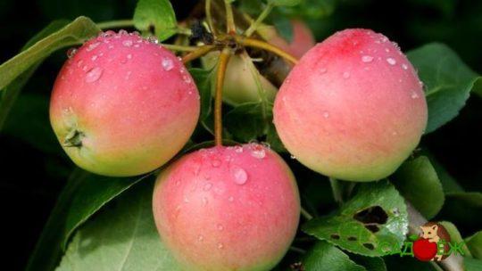 Подкормка яблони осенью